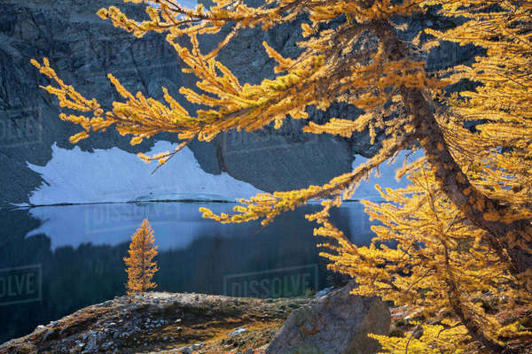 Sub-alpine larches (Latrix sp.) in late autumn in North Cascades National Park, Washington, USA. October. Rights-managed stock photo