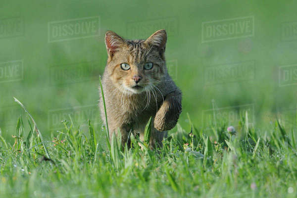 Wild Cat (Felis silvestris). Vosges, France, August. Rights-managed stock photo