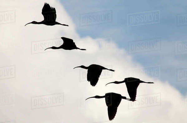 White-faced ibis (Plegadis chihi) group of five flying silhouetted against clouds, Xochimilco wetlands, Mexico City, February Rights-managed stock photo