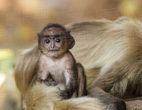 Hanuman langur  (Semnopithecus entellus) baby next to mother, Bandhavgarh National Park, India. Rights-managed stock photo