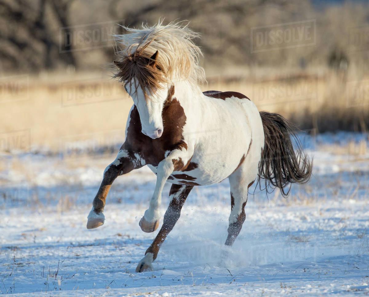 Rf Wild Pinto Mustang Stallion Running In Snow Black Hills Wild Horse Sanctuary South Dakota Usa January Stock Photo Dissolve