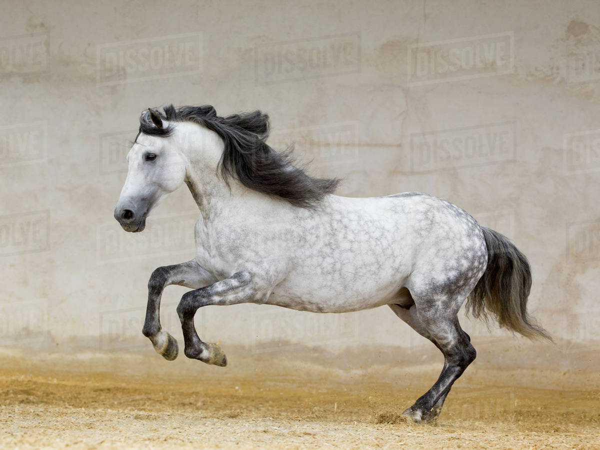 Rf Dapple Grey Andalusian Stallion Running In Arena Northern France Europe Stock Photo Dissolve
