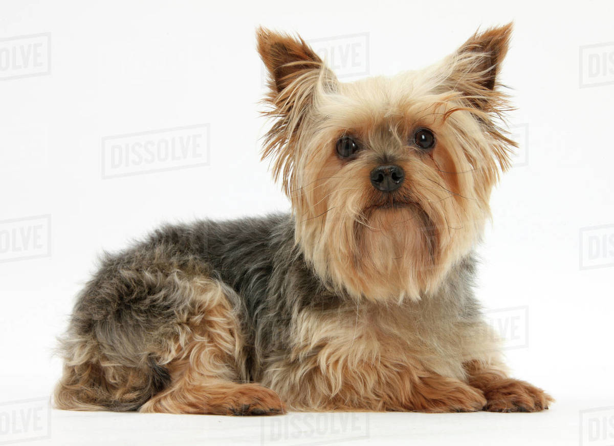 Yorkshire Terrier against a white background  stock photo
