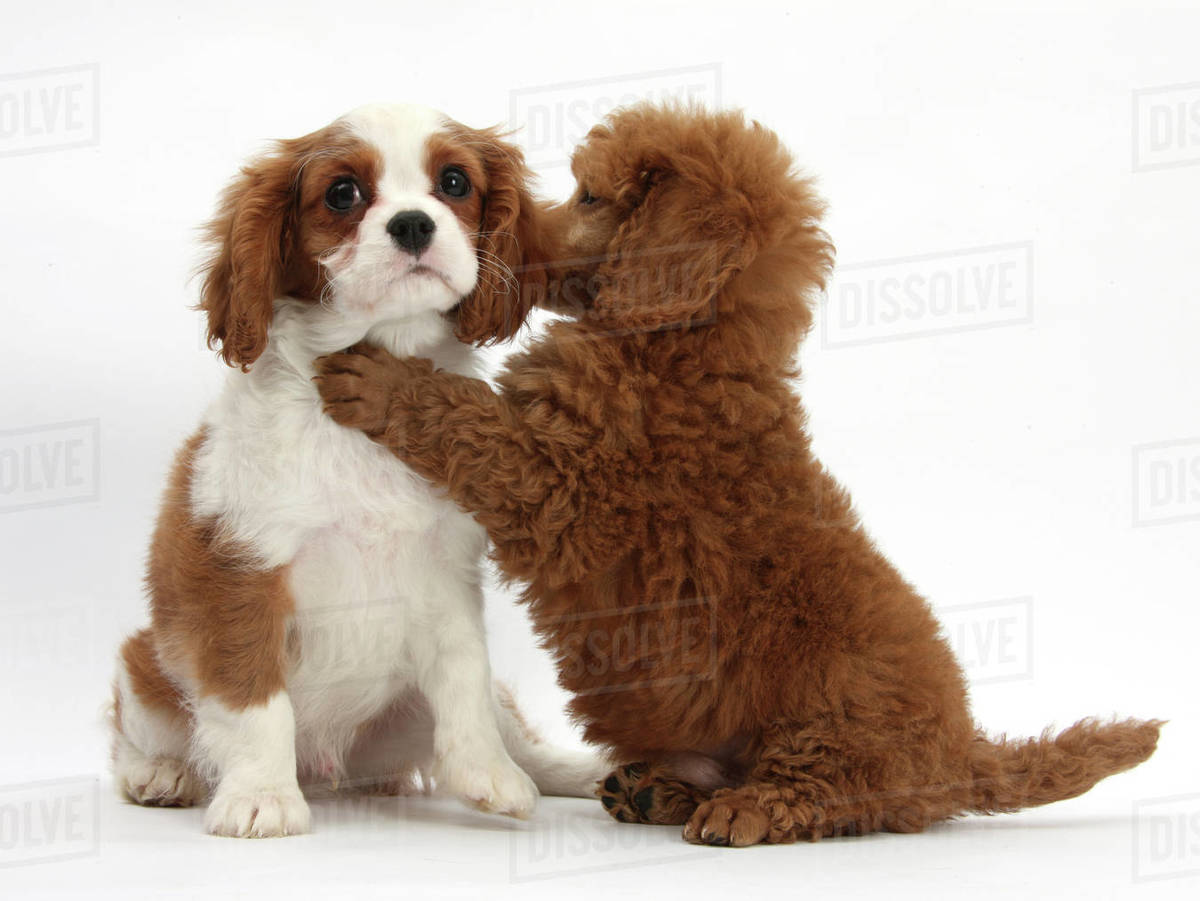 Blenheim Cavalier King Charles Spaniel Puppy 11 Weeks With Apricot Miniature Poodle Puppy 8 Weeks Stock Photo Dissolve