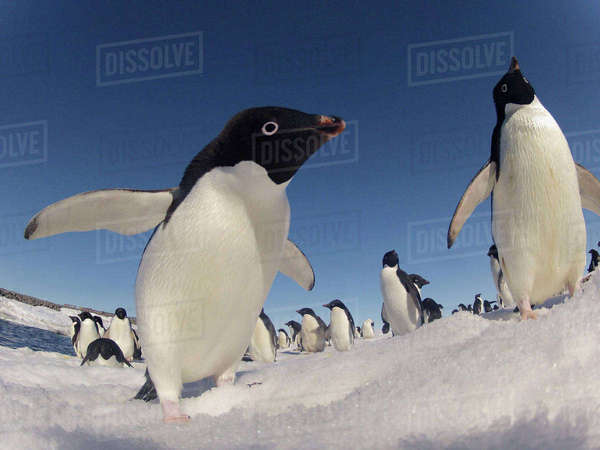 Adelie penguins (Pygoscelis adeliae) wide angle portrait of two with larger group in background, Antarctica. Rights-managed stock photo