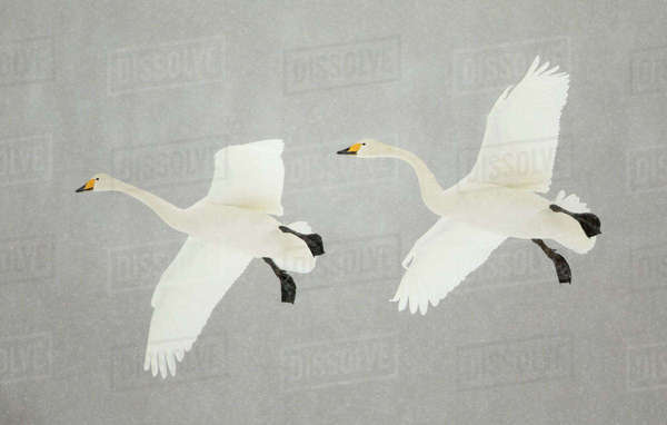 Whooper swans (Cygnus cygnus) two in flight, during snowfall, Lake Kussharo, Japan, February Rights-managed stock photo