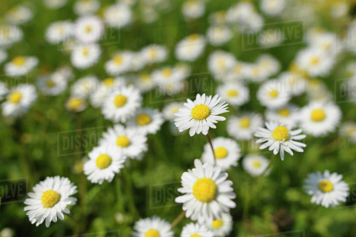 English daisies stock photo dissolve english daisies izmirmasajfo
