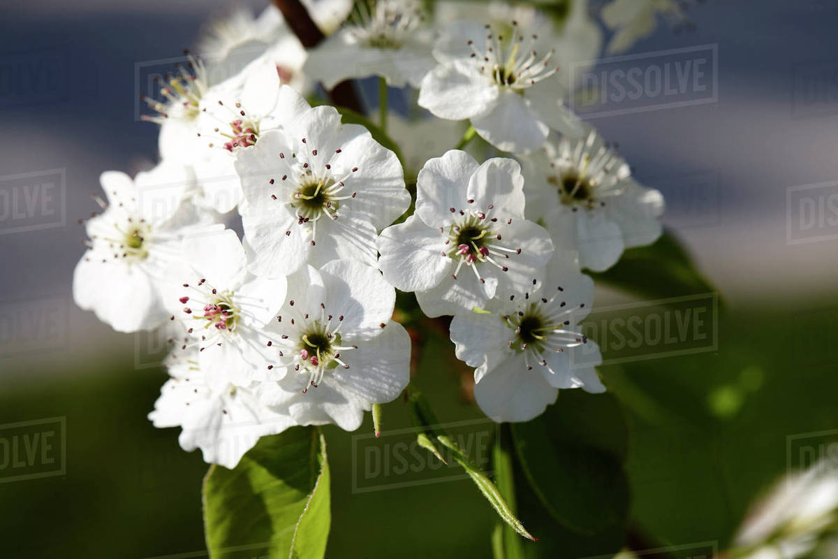 Close Up Of Callery Pear Tree Blossom Stock Photo Dissolve