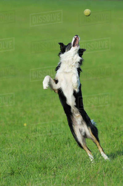 Border Collie, Bavaria, Germany Royalty-free stock photo