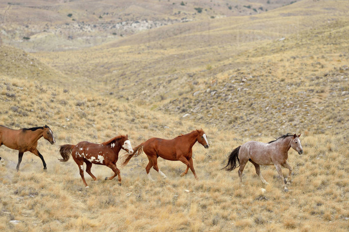 Wild Horses Running In Wilderness Rocky Mountains Wyoming Usa Stock Photo Dissolve