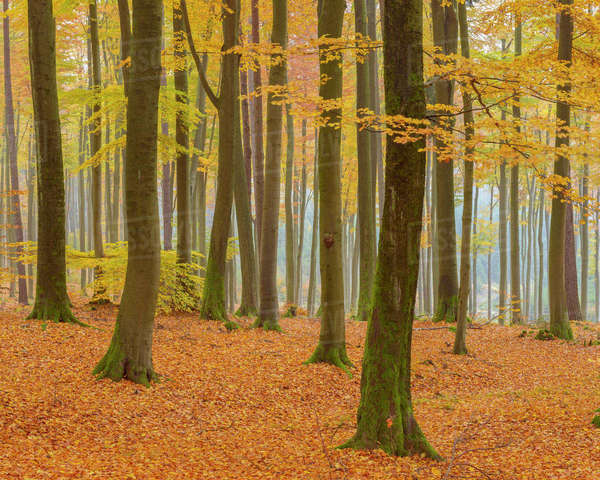 Beech Tree Forest in Autumn, Spessart, Bavaria, Germany Royalty-free stock photo