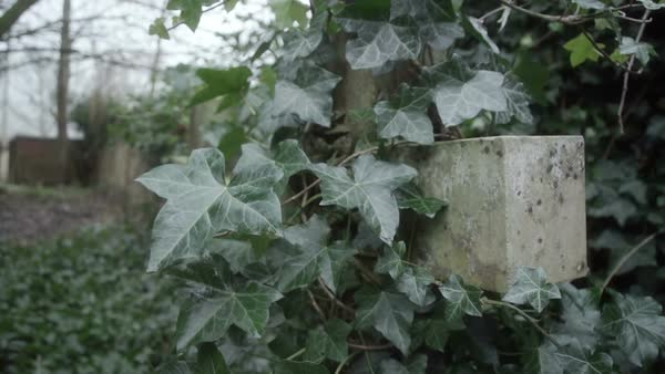 Old church yard with ivy covered headstones  Royalty-free stock video