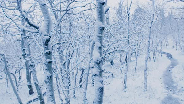 Pan across an aspen grove covered in snow. Royalty-free stock video