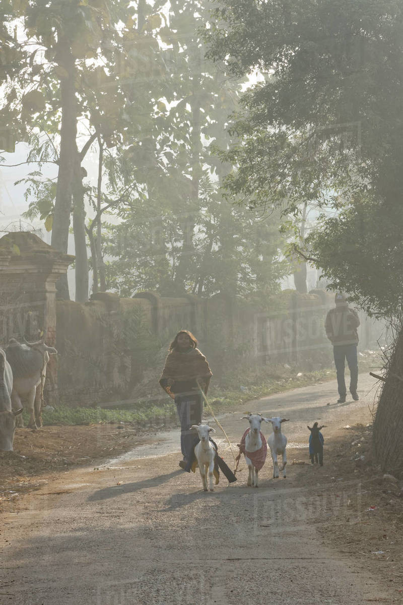 Little Indian shepherd girl walking with goats in foggy winter morning Royalty-free stock photo