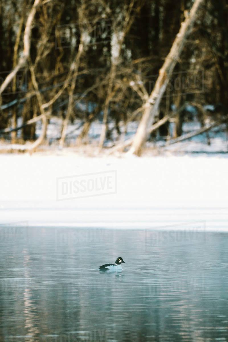 A Common Goldeneye duck swims in a frozen river in winter Royalty-free stock photo