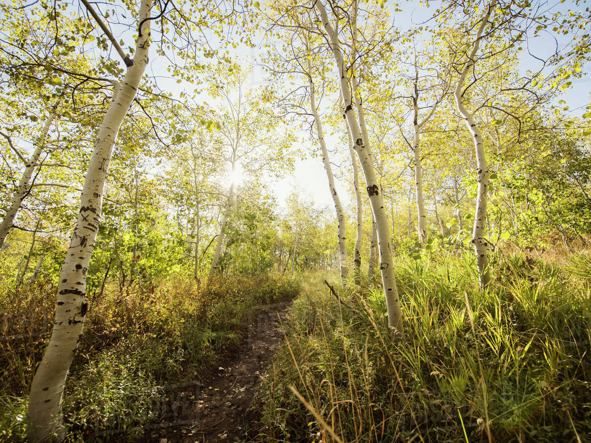 Sunny mountain trail with Quaking Aspen in autumn Royalty-free stock photo