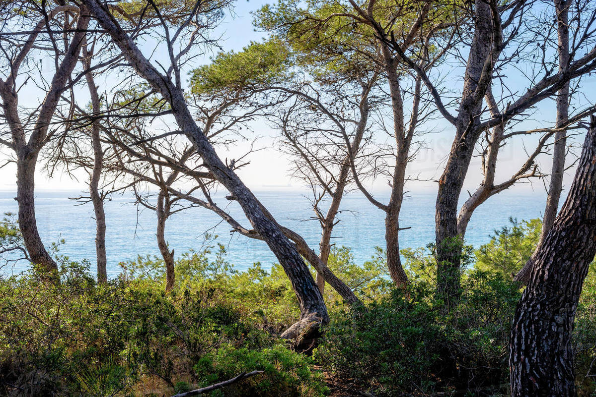 Pine trees at the edge of the ocean Royalty-free stock photo