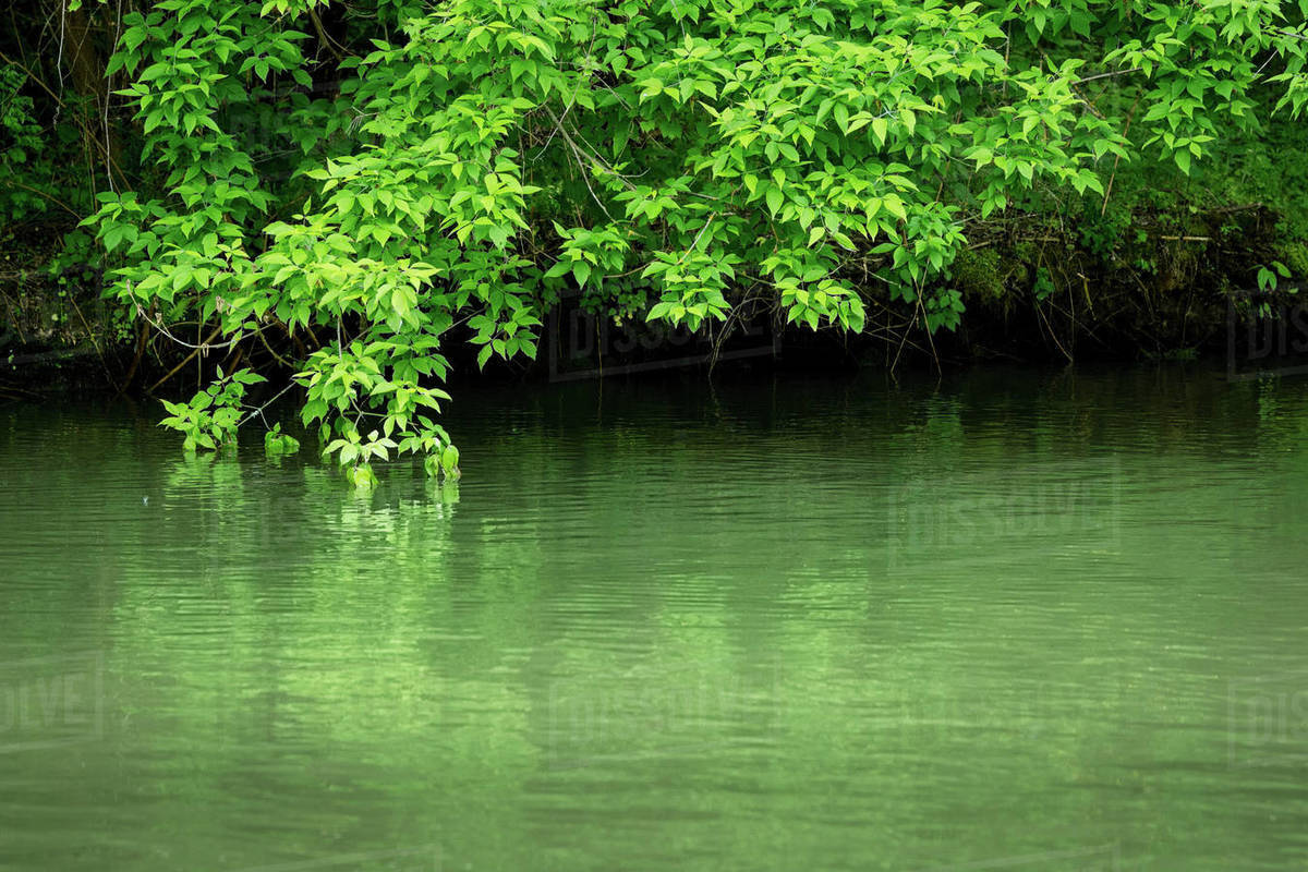 Green leafy branches above the river that reflects Royalty-free stock photo