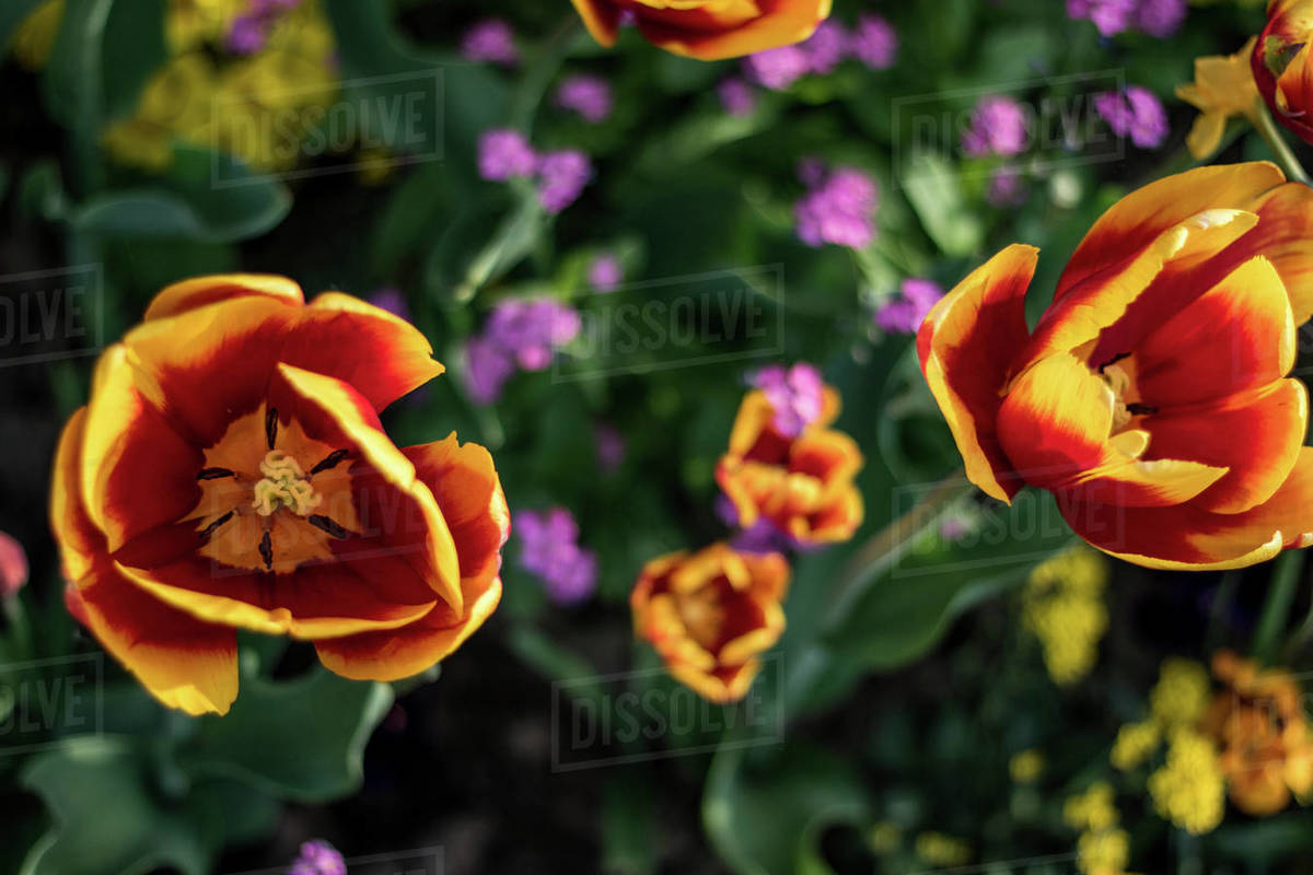 Tulips in the park of Paris Royalty-free stock photo