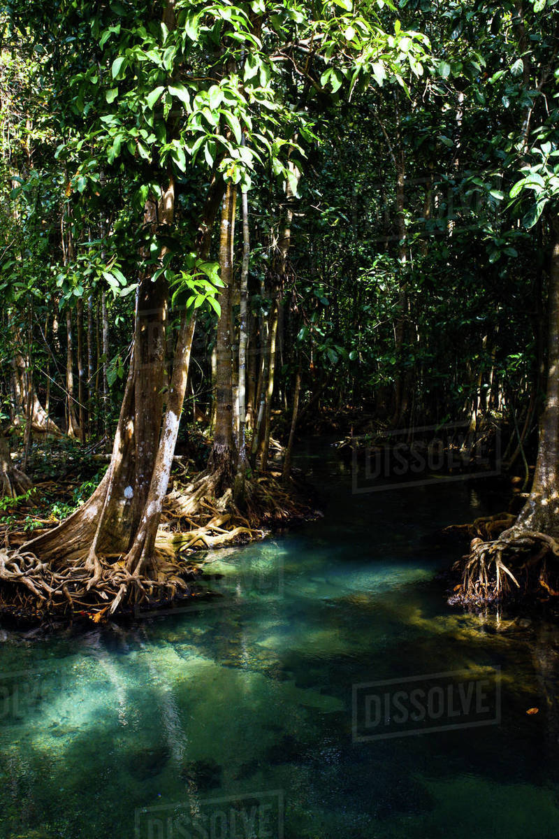 Mangrove forest river Royalty-free stock photo
