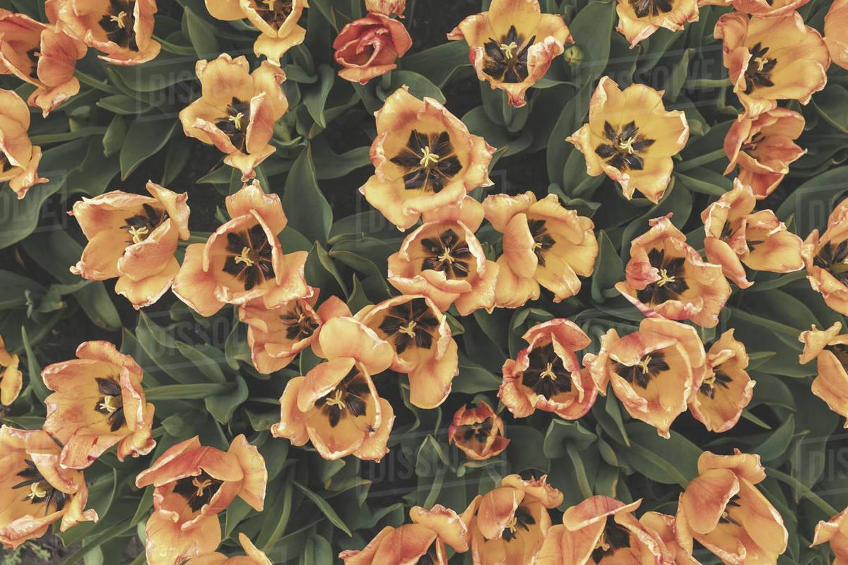 Holland Tulips Royalty-free stock photo