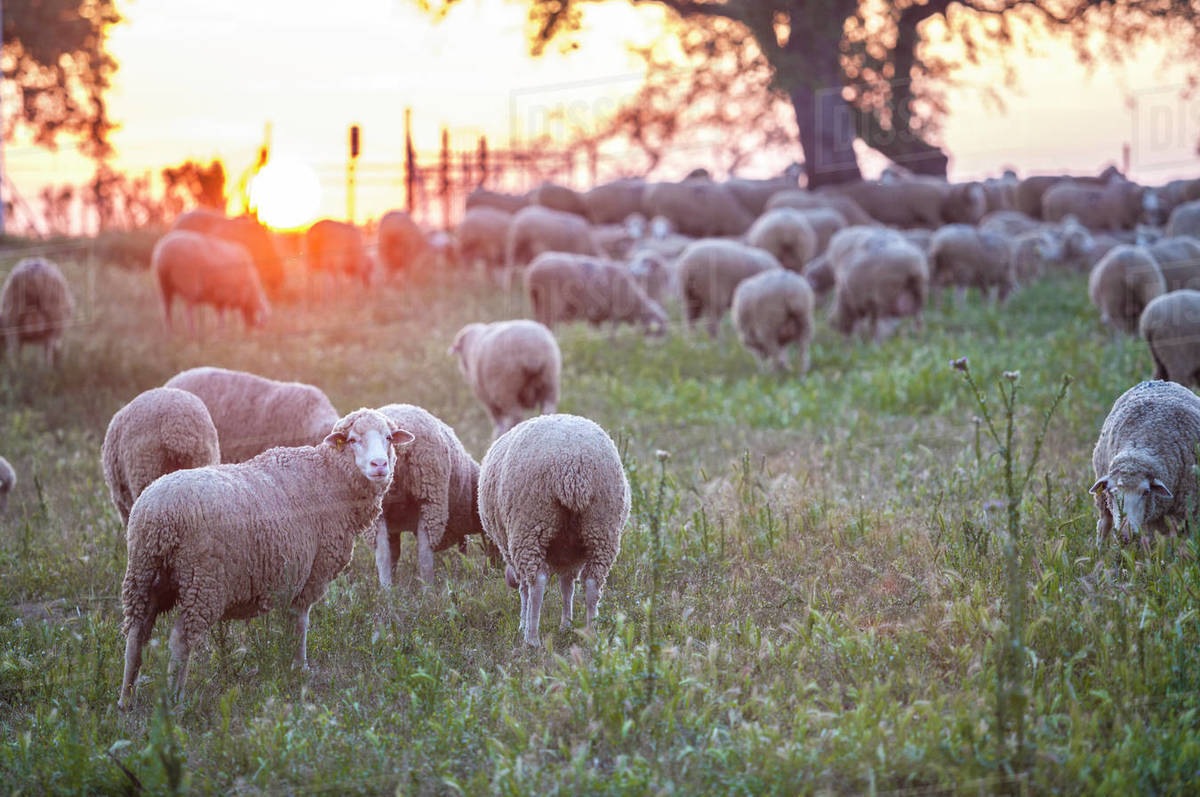 A flock of merina sheep grazing at sunset Royalty-free stock photo