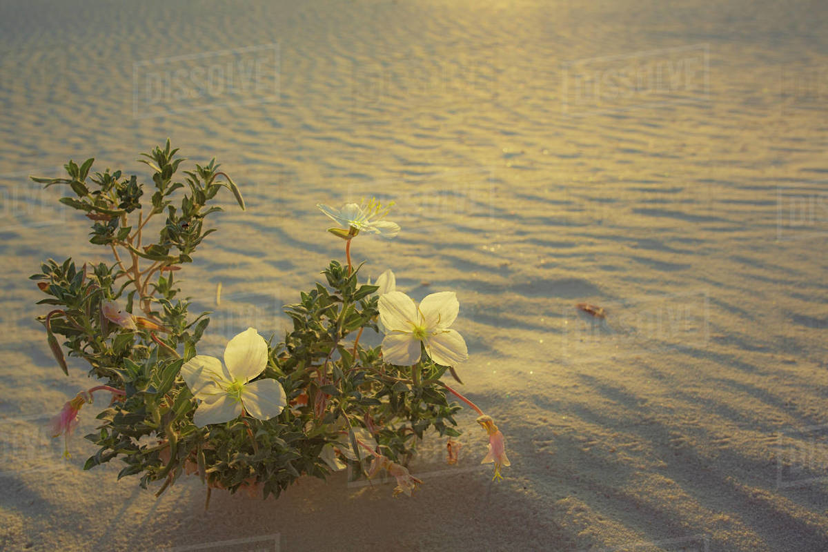 Three White Flowers on sand backlit with soft sunlight Royalty-free stock photo