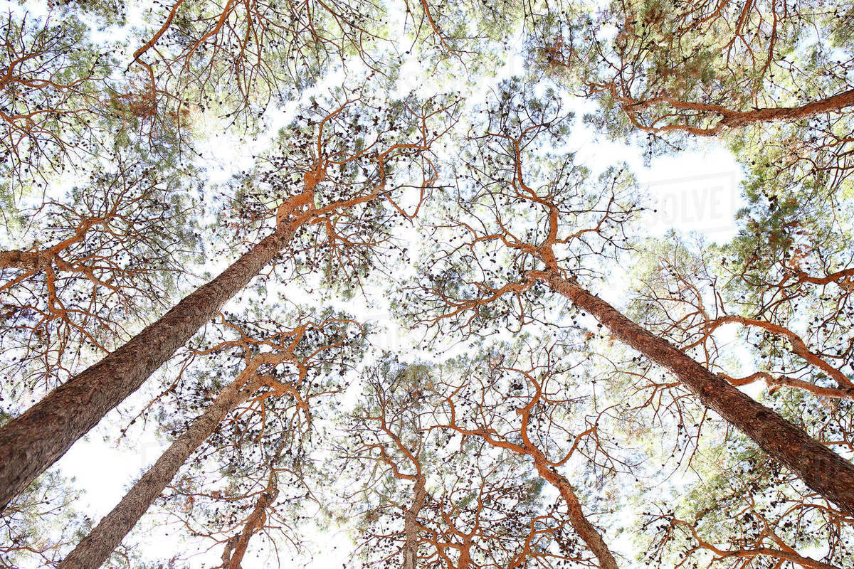 Pine forest in the city of Esfahan. Iran Royalty-free stock photo
