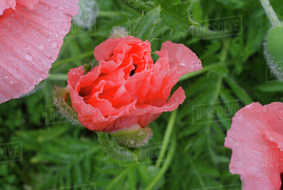 Single Poppy in Bloom After Rainstorm Royalty-free stock photo
