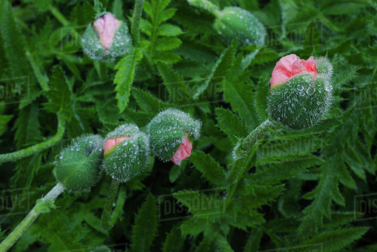 Four Pink Poppies About to Bloom After Rainstorm Royalty-free stock photo