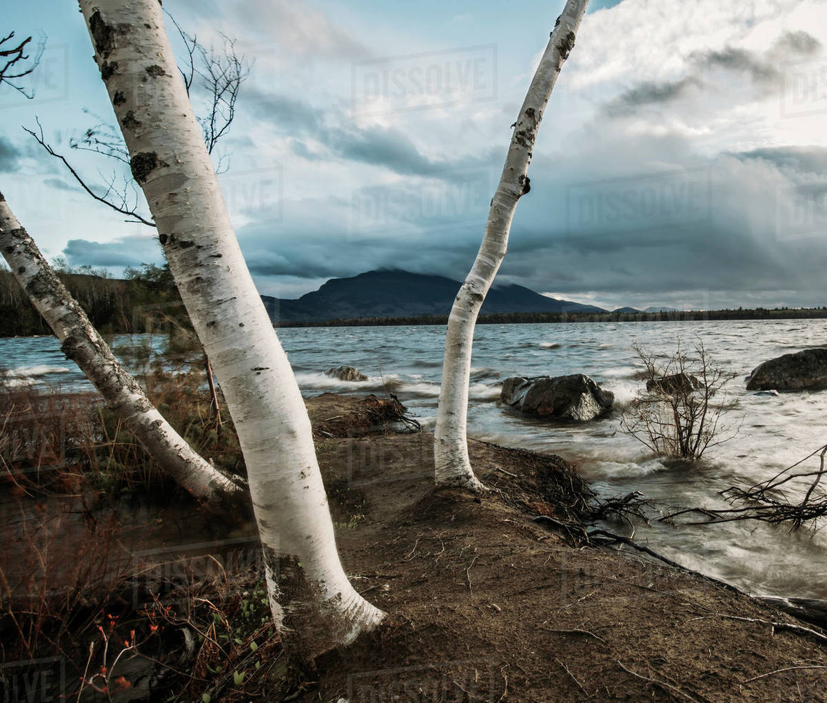 Birch trees at the edge of Flagstaff Lake, Maine on a windy day Royalty-free stock photo