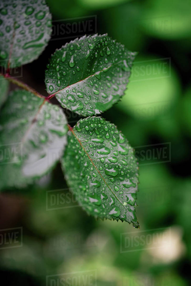 Leaf of a rose after rain in the garden. Royalty-free stock photo
