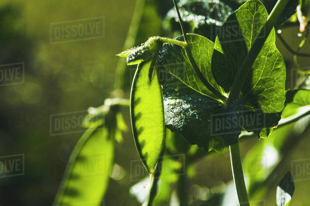 Snow Pea on the Vine Covered in Dew Royalty-free stock photo