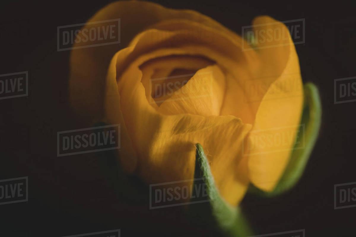 Yellow Ranunculus Royalty-free stock photo