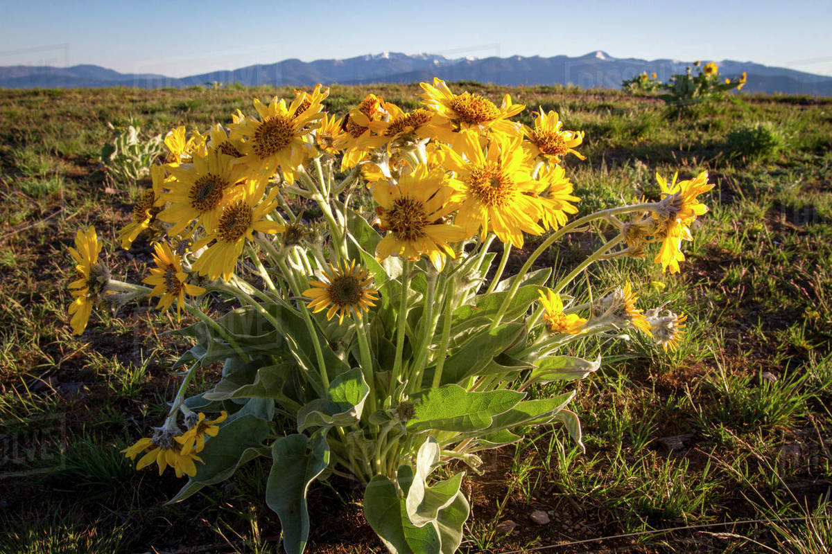 Arrowleaf Balsamroot blooms on the top of Mount Sentinel near Missoula Royalty-free stock photo
