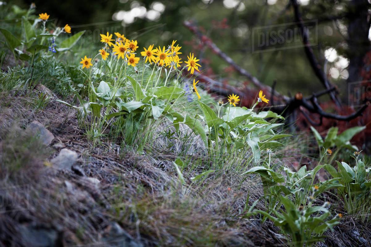 Arrowleaf Balsamroot blooms in spring near Missoula, Montana. Royalty-free stock photo
