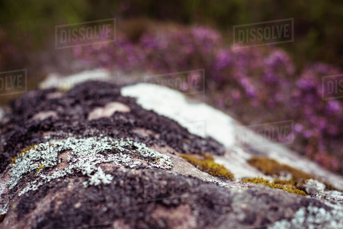Close up of moss on rock in Scottish highlands Royalty-free stock photo