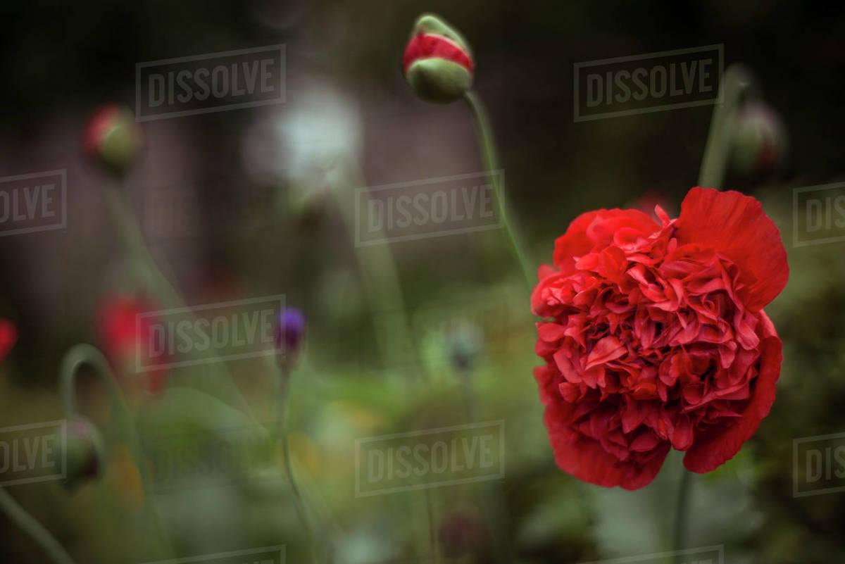 Macro detail of lush red flower blooming in flower garden Royalty-free stock photo