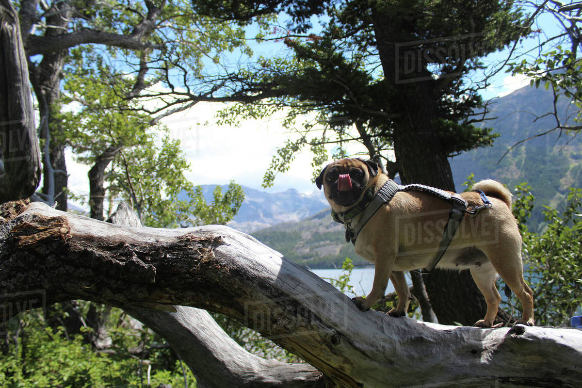 Side View Of Pug Sticking Out Tongue While Standing On Tree Trunk In