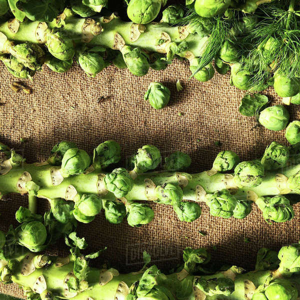 Overhead view of Brussels sprouts on sack Royalty-free stock photo