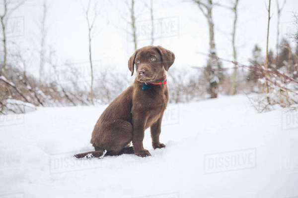 Chocolate Labrador looking away while sitting on snow covered field Royalty-free stock photo