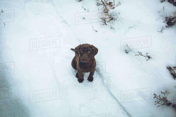 Portrait of cute Chocolate Labrador on snow covered field Royalty-free stock photo