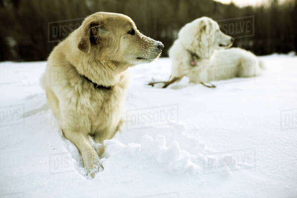 Dogs relaxing on snow covered field Royalty-free stock photo