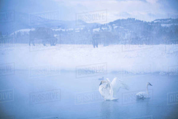 Swan flapping wings in lake against sky during foggy weather Royalty-free stock photo