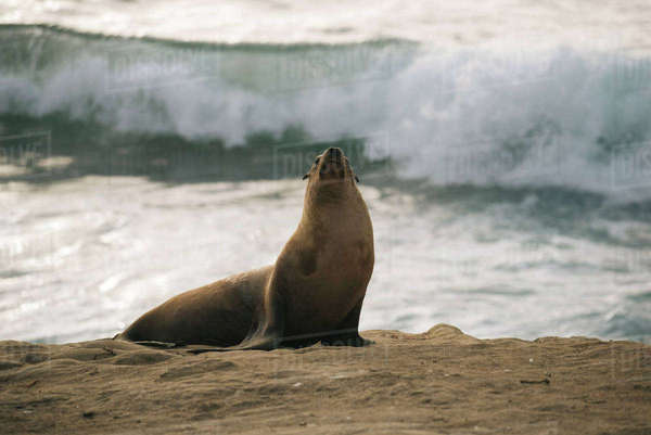Sea lion on shore at beach Royalty-free stock photo
