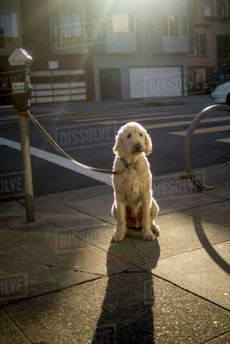 A dog with blonde fur sits on the sidewalk in the sun. Royalty-free stock photo