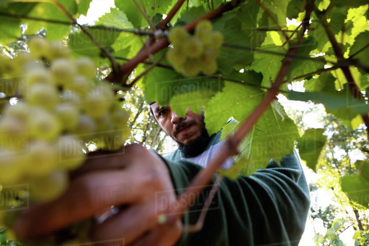 September Grape Harvest Royalty-free stock photo