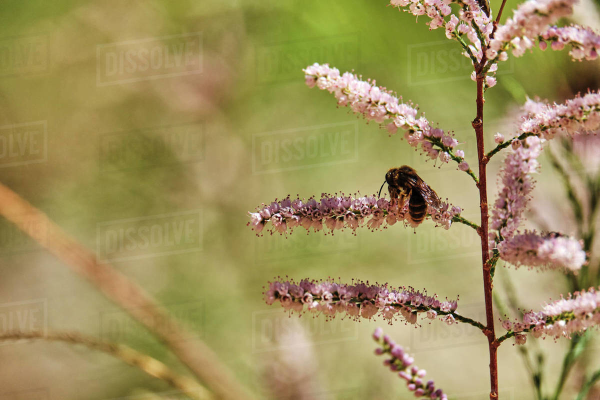Honey bee pollinates a desert flower along the Cibeque Falls day hike. Royalty-free stock photo