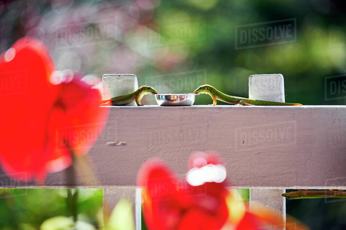 Gold Dust Geckos share a drink on a white fence of a restaurant Royalty-free stock photo