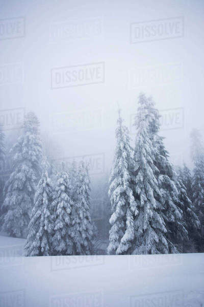 Snow covered trees during foggy weather Royalty-free stock photo